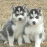 Even more Horgi Puppies