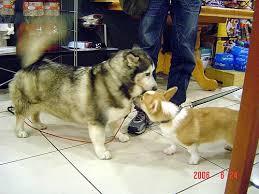 A Horgi meeting a Corgi!